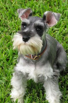 This is just the perfect dog. Got the looks, the swag, the mustache...
