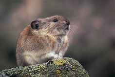 Watch a Collared Pika Prepare for Winter