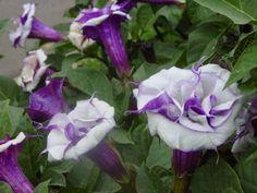 26 best datura trumpets plants images on pinterest trumpets angel single white datura plant google search mightylinksfo