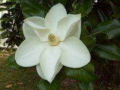 fior di magnolia