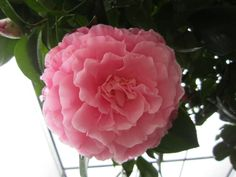 """Camellia japonica """"Cile Mitchell"""""""