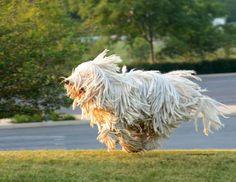 Komondor Dog Breed Information - American Kennel Club