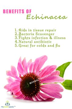 Echinacea is a very popular herb and people commonly take it to help combat flu and colds. It is a genus of herbaceous flowering plants in the daisy family - Asteraceae. It is also known as the American coneflower  #paleodiet #healthy #fitness #alkaline #naturalremedies #bestoftheday #monsey #Organic #lakewood #chabbad #fitnyc #Myhealthopedia #food #family #boropark #colliveofficial #gym #Echinacea