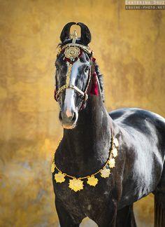 Портрет молодого марварийского жеребца в традиционном индийском украшении