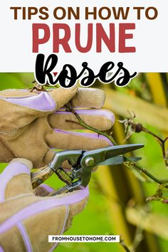 Growing roses can be a lot of fun. Follow these tips for your garden and you'll have the best-looking rose garden on the block! We've got everything from how to plant, prune, fertilize and choose which variety is right for you. Plus we talk about why this might be one of your favorite plants ever. You're going to love it!   Full Sun Plants Full Sun Garden, Full Sun Plants, Shade Garden, Garden Plants, Pruning Roses, Best Roses, Full Sun Perennials, Heirloom Roses, Types Of Roses