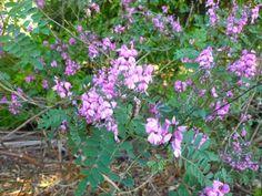Indigo Plant, Native Australians, Australian Plants, Native Plants, Gardening Tips, Garden Design, Garden Ideas, Flora, Nature
