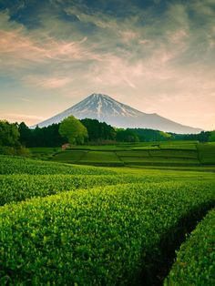 Japanese tea plantation and Mt.Fuji, Japan