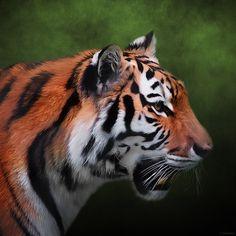 A Leader - Siberian Tiger Art - by Jordan Blackstone jordan-blackstone.artistwebsites.com #siberiantiger #leader #wallart #homedecor