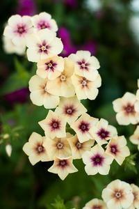 Cherry Caramel Phlox - Pinetree Garden Seeds - Flowers #flowergardening