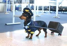 Crusoe the Celebrity Dachshund, Dressed As An Airline Pilot