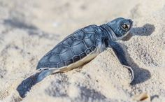 Daily Cute: Baby Sea Turtles' Journey