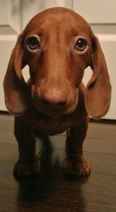 miniature dachshund..OMGOSH this look just like my little Holly <3                                                                                                                                                                                 Mais