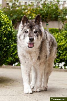 Biba the Norwegian Elkhound - this gal is 18 years old!