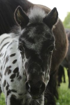 Another Sweet Appaloosa foal