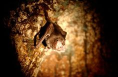 Vampire bat Vampire Bat, Mammals, North America, Painting, Painting Art, Paintings, Vampires, Painted Canvas, Drawings