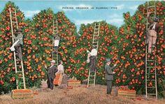 Florida Agriculture...Oranges~