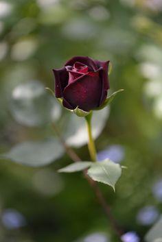 Rose ' Louis ⅩⅣ' | バラ 'ルイ14世' in my garden | myu-myu | Flickr