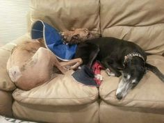 Having Dreamie as his pillow is very soothing to Freddie. She's a good little nurse and a greyt sister. #galtx #greyhounds