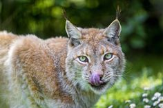Female lynx licking her nose after eating | by Tambako the Jaguar