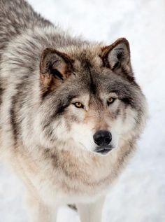 wolfsheart-blog:Beautiful Wolf by Denis Pepin. by beautiful-wildlife