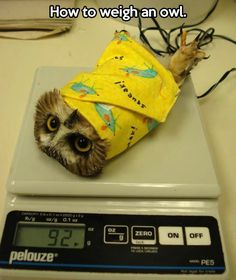 The correct way to weigh an owl… of course now he has to murder you