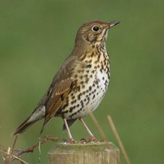 Song Thrush - Dumfries & Galloway Birds