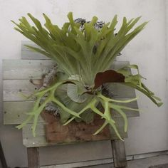Staghorn Fern.  These are beautiful, but I have never taken the plunge and gotten noe.  I would be heartbroken if I killed it.    http://acupfullofsunshine.blogspot.ca/2011/11/staghorn-ferns.html