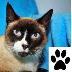 """This pet is eligible for """"Paws for Consideration."""" Take them home for a few days and see if they fit into your household.  Lennon is the picture of a Snowshoe Siamese mix. This breed is quite famous and very rare having unique markings. Snowshoe cats have an affectionate and docile disposition. Snowshoes are also very vocal, though their voices are not as loud as the Siamese, a cat found in their breed heritage. They are noted as being very intelligent and have the ability to learn tricks…"""