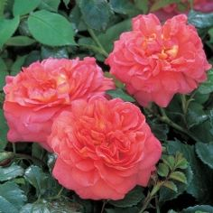 Christopher Marlowe - David Austin Roses 2.5 x 3  Plants for all Seasons 249