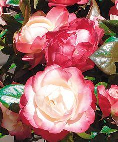 POUZE V E-SHOPU! Pro velký zájem jsme do e-shopu zařadili růže, které nejsou v aktuálním tištěném katalogu. http://eshop.starkl.com/pouze-v-eshopu/