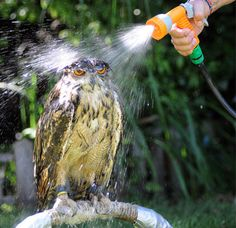 Watering the Owl.