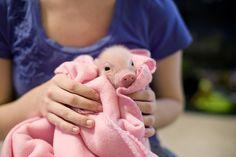 Pink pig in a blanket.