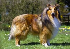 Rough Collie photo | Animal Photography | Rough Collie stock images, picture / photo ideas ...