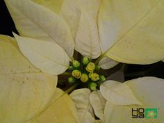 Poinsettia, Competition, Lovers, Plants, Plant, Planets