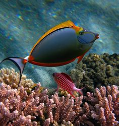 You can't make this stuff up: Orange Unicorn-fish ORANZHEVOSHIPAYA FISH-Rhino (Naso elegans) and SARGOTSENTRON-Diadem, Red Sea