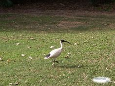 A solitary Australian White Ibis (Threskiornis molucca)----Queensland, Australia. This black and white wading bird with a long curved beak is normally found in large flocks along the Gold Coast and most of Australia's western shore.  Also known as a Sheep bird, it frequents wet marshland and open grassy areas, but ha been increasingly present in urban areas such as Sydney and Brisbane.