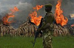 Una hoguera de 105 toneladas de marfil En el parque nacional de Nairobi se ha prendido fuego a 105 toneladas de marfil de elefante y más de una tonelada de cuerno de rinoceronte en protesta por la caza furtiva de esos animales, en presencia de líderes africanos y celebridades. Un soldado keniano monta guardia frente a la hoguera de marfil: en...http://www.elmundo.es/album/internacional/2016/04/30/5724d535e5fdead7018b46b4.html
