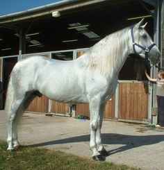Andalusian horses  are known for their 'showy walk'.