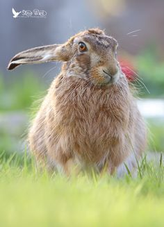 Contemplating hare