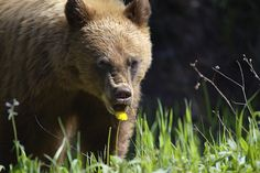 Grizzly Bear, Glacier National Park, Montana by C Rand, via Flickr