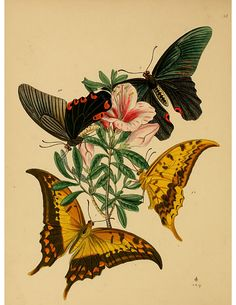 Artfully Musing: Butterfly Images for Your Art – Fourth and Last Set 3 of 9 By Laura Carson Illustration Papillon, Illustration Botanique, Butterfly Illustration, Butterfly Images, Vintage Butterfly, Butterfly Art, Butterflies, Green Butterfly, Gravure Illustration