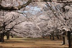 Kirschblüte in Tokio