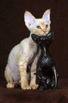 Ana Sayfa -> Devon Rex -> Devon Rex Fotoğrafları - #devonrex -Tops Tiny Cat Breeds at Catsincare.com!