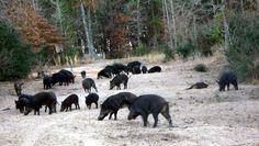 Wild hog hunting. I have killed em in FLA, ALA, & TEXAS!