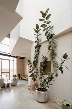 Ficus elastica / rubber plant — Joris Brouwers & Nicky Zwaan home tour. Ficus Elastica, Best Indoor Plants, Big Plants, Indoor Climbing Plants, Big House Plants, Best Indoor Trees, Hanging Plants, Indoor Trees Low Light, Indoor House Plants