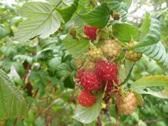 How to Thin Raspberries: which stems to cut & which ones to leave for a delicious berry harvest. A great edible plant for even the narrowest garden.