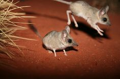 The kultarr (Antechinomys laniger) is a species of Dasyurid marsupial from Australia.