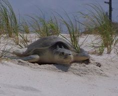 Loggerhead Sea Turtle. These endagered species nest every year in Navarre Beach beginning on May 1st. Navarre Beach Florida, Destin Beach, Florida Beaches, Beach Trip, Beach Vacations, Life In Paradise, Florida Sunshine, Wild Creatures, Endangered Species