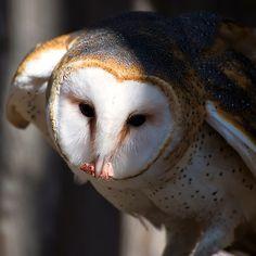 Barn Owl Eating 2