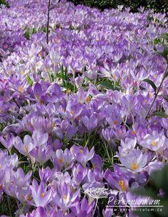 Záplavy šafránu (Crocus tommasinianus) kvetou brzy na jaře. Flowers Garden, Plants, Plant, Planting, Planets